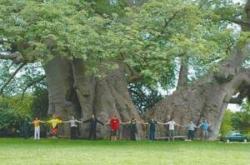 世界上最粗的树是什么树,百骑大栗树(直径17.5米/周长55米)