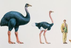 世界上最大的鸟,象鸟身高3米体重半吨却不会飞(已灭绝)