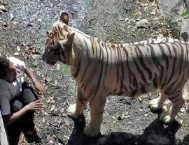 各地动物园老虎吃人真实视频,内脏满地被吃精光仅剩头部