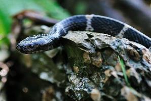 中国最毒的蛇:银环蛇,0.08毫克毒液就能毒死人