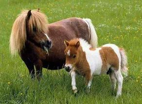 世界上最小的马是法拉贝拉迷你马,身高38.1厘米(小狗一般高)