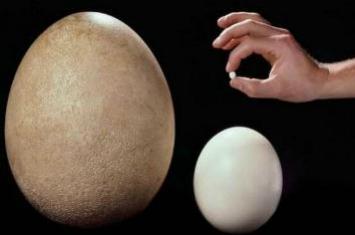 世界上最小的蛋和最大的蛋,蜂鸟蛋/象鸟蛋(比指甲小/比头大)