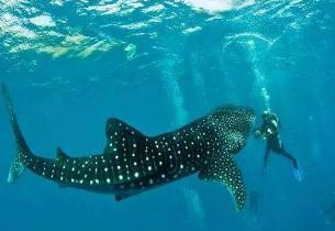 世界上最大的鱼,鲸鲨身体长度达到20米(没有天敌)