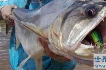 牙齿最锋利的鱼,吸血鬼鱼