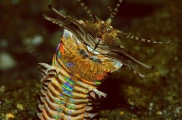 巴比特蠕虫:没有大脑和眼睛,但却是很多海洋生物的天敌