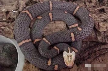 喜马拉雅白头蛇(白头缅蝰) 世界上最罕见的神经毒素的蛇