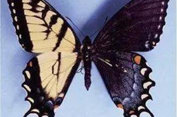 鬼美人凤蝶真的存在吗