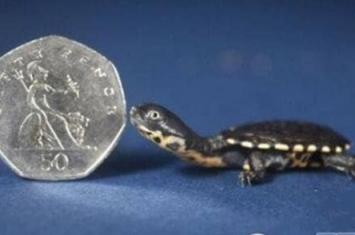 世界上最小的乌龟有多小