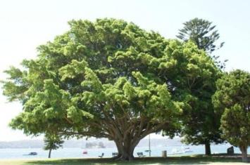 镇宅树哪种最好?镇宅树排行榜 第一名可化煞生旺