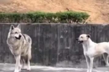 斗牛犬和狼哪个厉害,如果斗牛犬和狼打架谁能赢?
