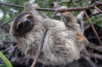 树懒是什么动物,生活在什么地方天敌是谁?
