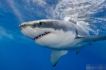 虎鲸VS大白鲨,导致南非海岸大白鲨集体消失?真相分析