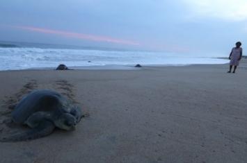 """墨西哥南部恰帕斯州122只海龟伏尸沙滩 111只是濒危""""太平洋丽龟"""""""
