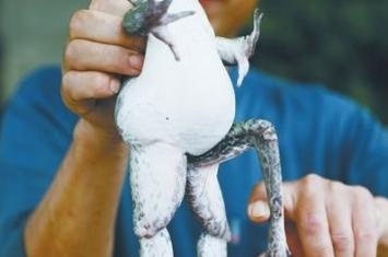 河南洛阳小水渠中捉到5条腿青蛙