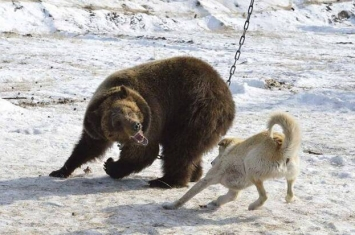 俄罗斯Bayanay狩猎俱乐部举行狩猎技能大赛 棕熊被铁链锁在树上充当诱饵遭受猎犬围攻