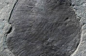 """5.58亿年前""""狄更逊水母""""化石 72年后才证实是地球上已知最早动物"""