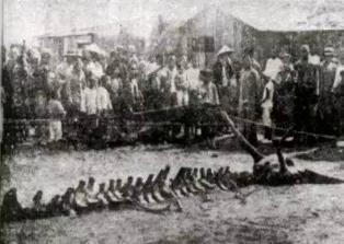 1934年营口坠龙事件真相,实则鲸鱼搁浅后骨骼拼凑而成