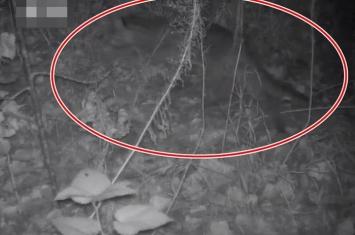 濒危野生豹猫在江苏盐城意外入镜 10多年首次现身沿海地区