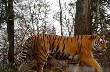 黑龙江林区再拍到野生东北虎影像 专家:属定居虎