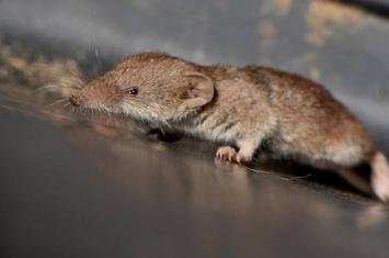 俄罗斯南部发现世界上最小的哺乳动物鼩鼱