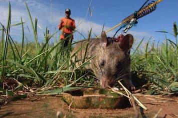 非洲巨鼠用灵敏的嗅觉闻出地雷的位置
