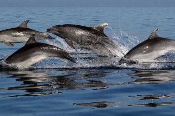 研究发现海豚会联群结队出没 同时避免其他同类加入