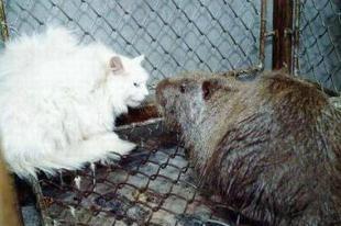 伊朗巨鼠比猫还大,基因变异需狙击手猎杀(核辐射下的变异动物)