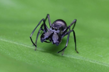 """中国科学家首次发现名为大蚁蛛(Toxeus magnus)的跳蛛具有""""哺乳行为"""""""