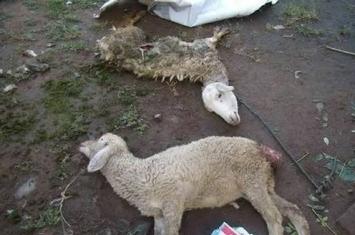 印尼峇里岛发生羊群离奇死亡事件