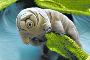 地球上唯一的不死生物,水熊虫没有任何天敌(几乎杀不死)