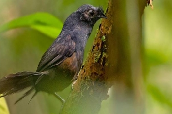 """地球上最珍稀的鸟类""""斯氏须额窜鸟""""时隔23年再度现身巴西"""