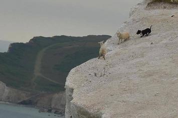 英国黑狗疯狂追赶两只绵羊使其跳下悬崖坠亡