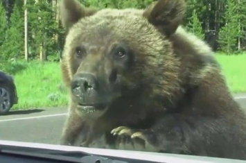 美国黄石公园好奇棕熊爬车窗吓坏游客