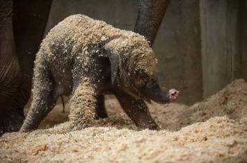 美国俄亥俄州哥伦布动物园及水族馆初出生小象患急病夭折