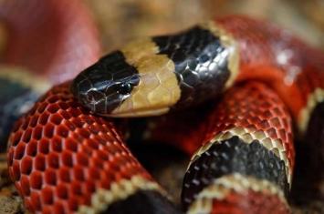 """墨西哥森林""""中美珊瑚蛇""""肚子里面发现全新蛇种""""神秘晚餐蛇""""Cenaspis aenigma"""