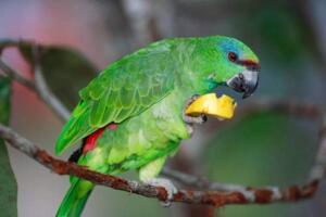 世界上寿命最长的鸟,亚马逊鹦鹉詹米活了104岁