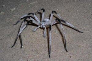 世界上腿最长的蜘蛛:蜢蜘,腿长38厘米身长仅4厘米