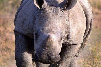 摄影师在南非克鲁格国家公园淡定拍摄犀牛冲击惊险瞬间