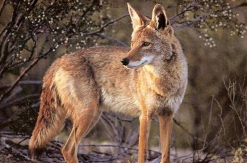 美国加利福尼亚州橘郡尔湾郊狼入侵