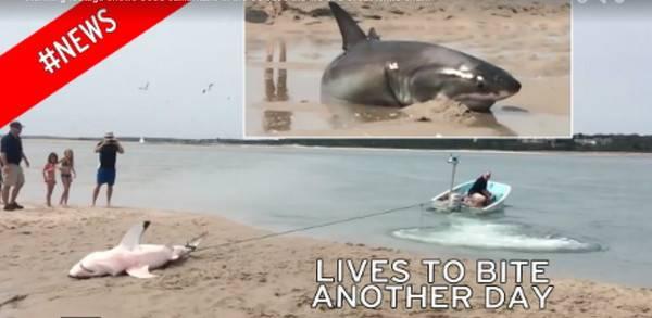 大白鲨为追逐海鸥在美国麻州鳕鱼角海滩搁浅