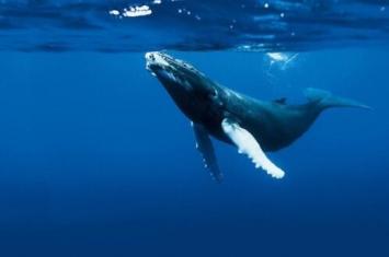 布氏鲸是什么样子的