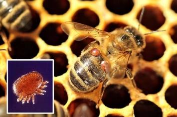 """新研究指微型螨虫""""瓦螨""""才是危及蜜蜂存亡的最大元凶"""