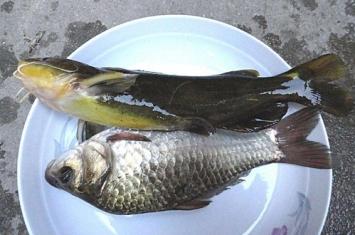 鲋鱼读音是什么 揭秘鲋鱼是什么鱼