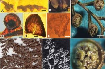 缅甸琥珀中发现树蕨类和水龙骨类植物新类群