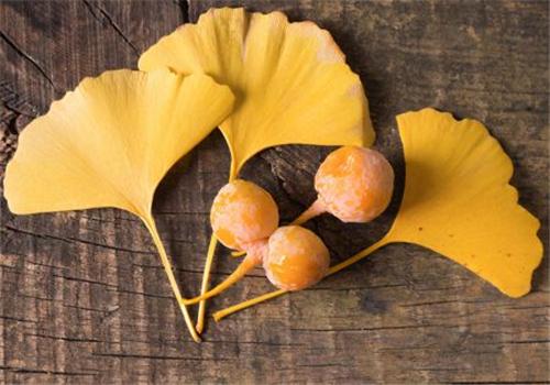 为什么银杏是濒危物种