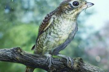 缅甸琥珀中发现被掠食者吃剩的古鸟类化石
