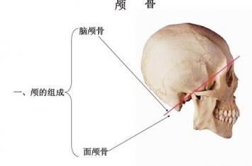 颅骨是人体哪个部位的骨骼