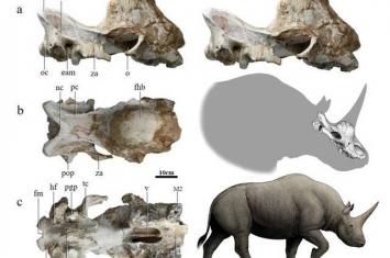 采自陕西省定边县杨井的晚中新世板齿犀化石破解长期悬而未决的真板齿犀起源问题