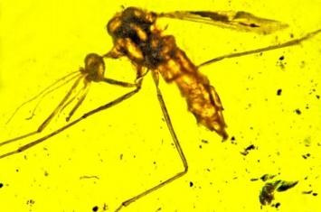缅甸琥珀中发现可以传播疟疾的蚊子Priscoculex burmanicus早在1亿年前就已出现
