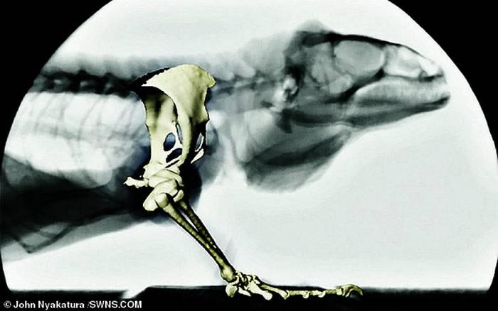 德国发现的Orobates pabsti化石挑战对于已灭绝动物如何移动的研究
